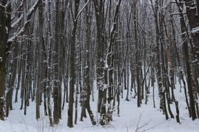 Snowy forest in Brasov